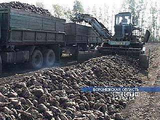 В Воронежской области убрана пятая часть посевов сахарной свеклы