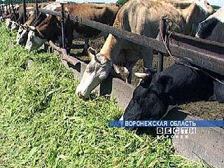В Воронежской области увеличивается число животноводческих предприятий