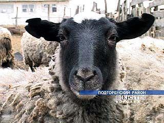 В Воронежской области возрождают овцеводство