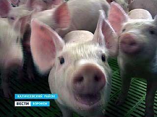 В Воронежскую область может нагрянуть вирус африканской чумы свиней