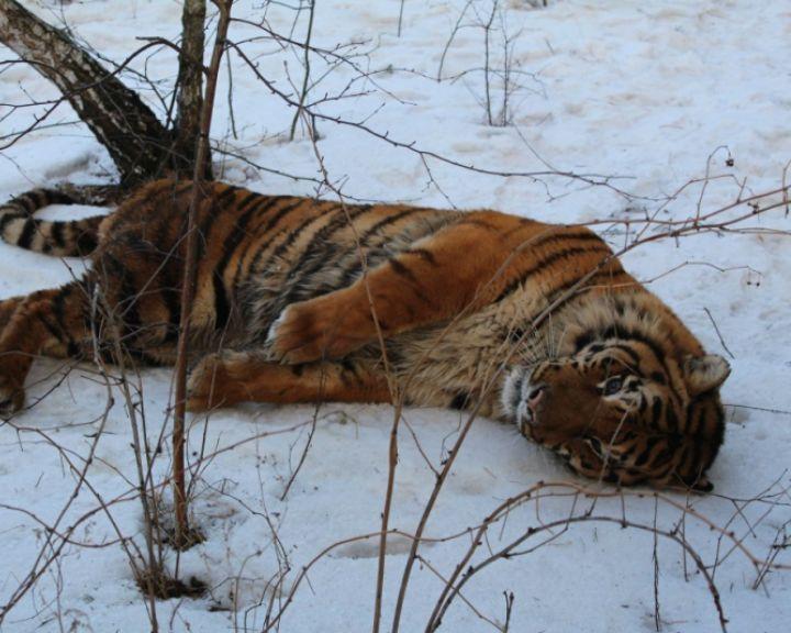 ВИДЕО: как в Воронеже ловили сбежавшего тигра