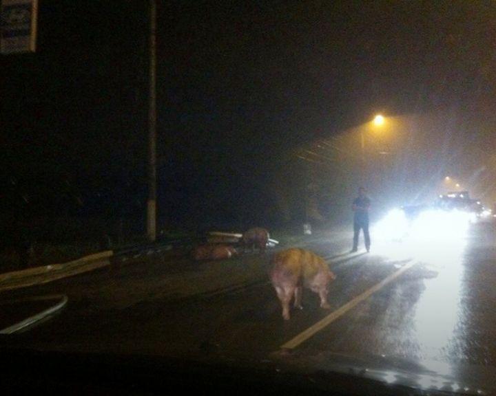 ВИДЕО: В Твери сгорел грузовик с воронежскими свиньями