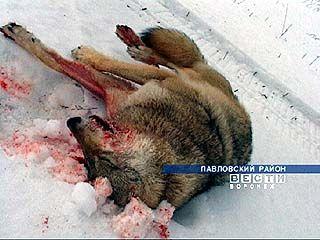 Волки терроризируют Воронежскую область