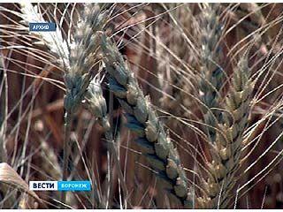 Воронежская земля - самая плодородная в России