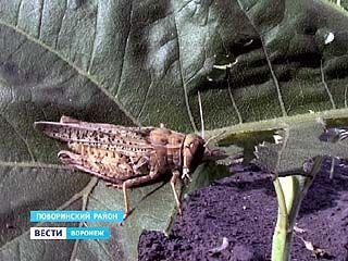Воронежские аграрии объявили войну саранче