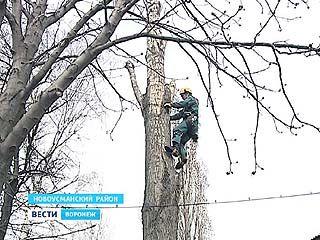 Воронежские арбористы рискуют здоровьем ради безопасности горожан