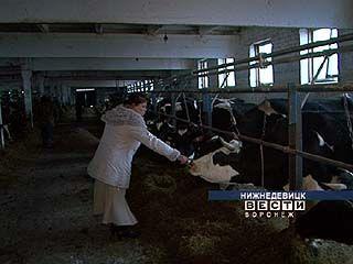 Воронежские буренки идут на рекорд - они дают по 8 тысяч килограммов молока в год
