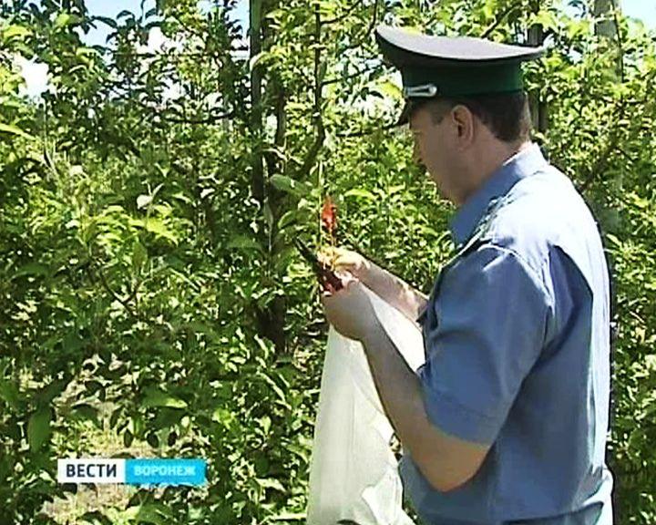 Воронежские инспекторы Россельхознадзора ищут сады, которые могут «сгореть» без огня