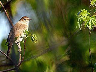 Воронежские орнитологи отмечают Соловьиный день