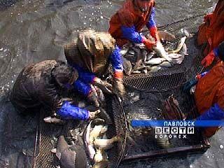 Воронежские ученые получили грант за программу по разведению прудовой рыбы