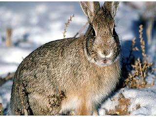 Воронежские ученые пытаются выяснить причину сокращения популяции зайца-русака