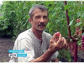 Воронежский виноградарь выращивает на своём участке более 100 сортов