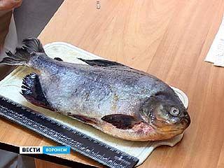 Воронежское водохранилище приютило пиранью