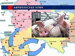 Воронежскому региону угрожает африканская чума