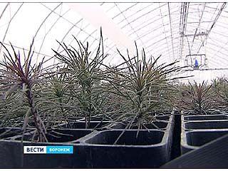 Все воронежские горельники засадят новым лесом в ближайшие несколько лет