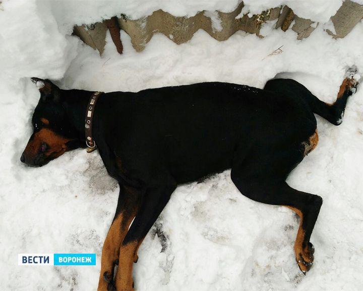 В Воронеже неизвестные выбросили умирающих доберманов у жилых домов на Чижовке