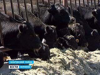 """За год поголовье коров """"мраморной"""" породы в хозяйстве Бобровского района планируют увеличить вдвое"""