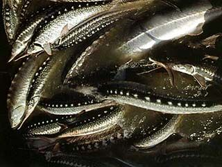 Задержано 9,5 тонн осетровой рыбы