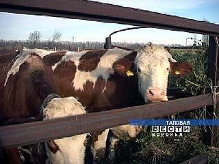 Зарегистрирован случай заболевания скота сибирской язвой