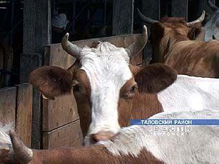 Засушливое лето может оставить коров на голодном пайке