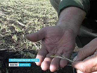 Земледельцы южных районов области подсчитывают убытки - озимые пострадали от заморозков