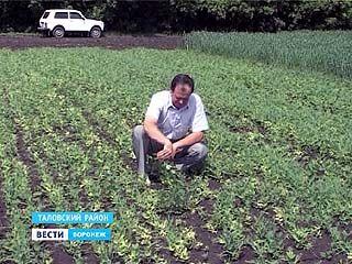 Жара идёт на рекорд и бьёт по посевам, дождей не будет - потеряем урожай
