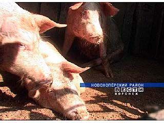 Житель Новохоперского района выводит новую породу свиней