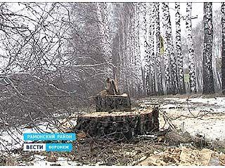 Жители посёлка Ямное едва не лишились берёзовой аллеи