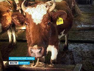 Зимовка для крупного рогатого скота выдалась нелегкой