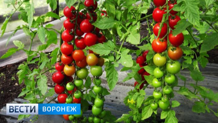 Воронежский агроном Иван Бабин рассказал о помидорах черри