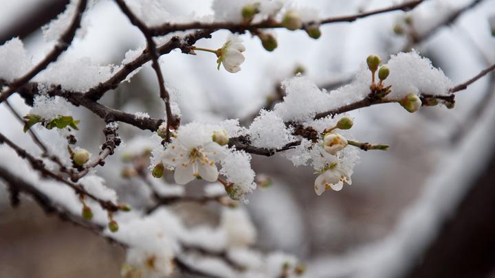 Как не потерять урожай после заморозков и снегопада?
