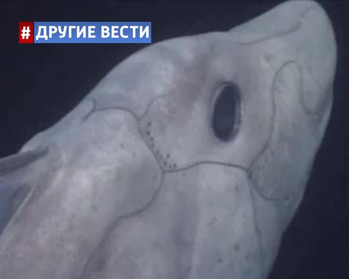 ВИДЕО: Впервые в истории удалось запечатлеть древнюю акулу-призрака