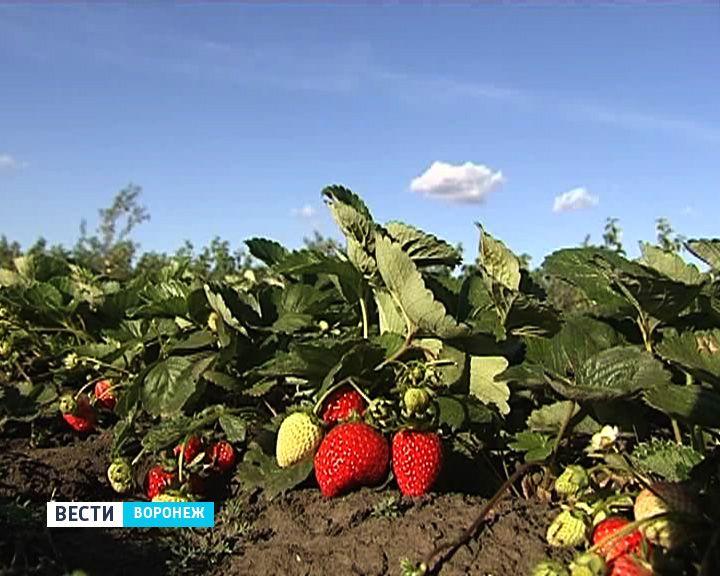 Сезон забот: Советы воронежского фермера по посадке клубники