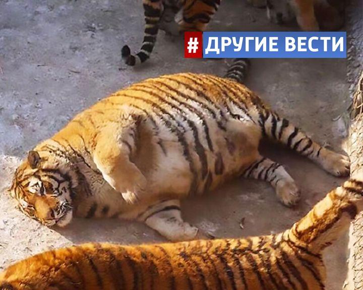 Зоозащитники по всему миру бьют тревогу из-за ожирения амурских тигров в китайском зоопарке