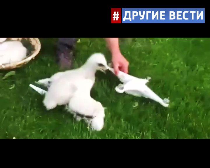 Французские военные обучают орлов охоте на дронов