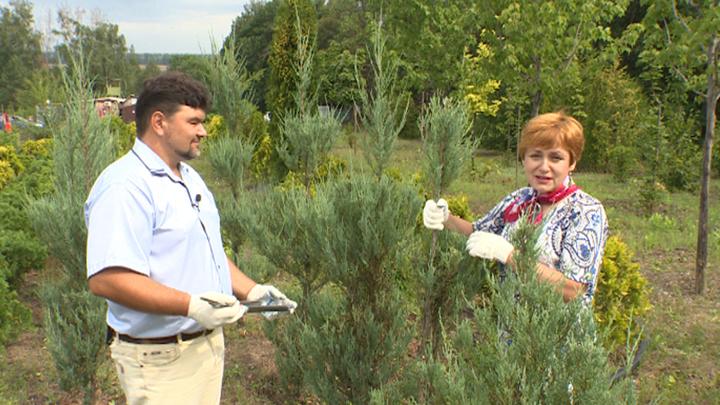 Полезные советы воронежского агронома по выращиванию можжевельников
