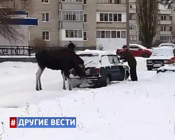 ВИДЕО: В Пензенской области лось-токсикоман пришёл в город подышать выхлопными газами