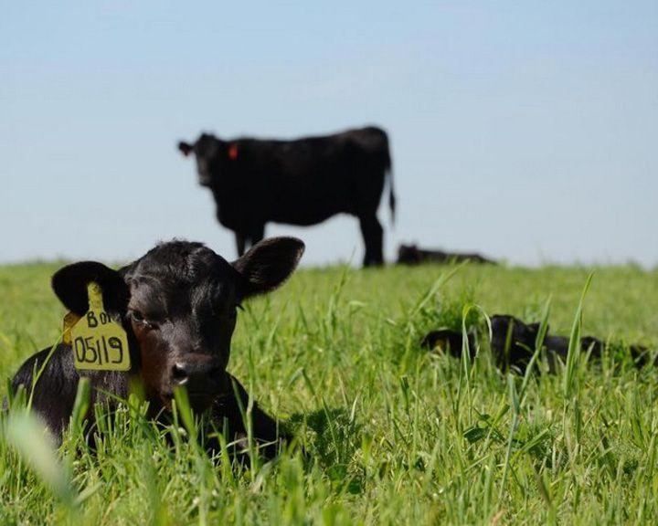Просёлки: Разведение абердин-ангуссов рамонский фермер начинал в чистом поле