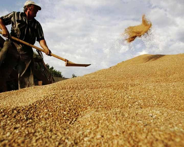 Просёлки: Репьёвский район – один из лидеров по урожайности зерновых в Воронежской области