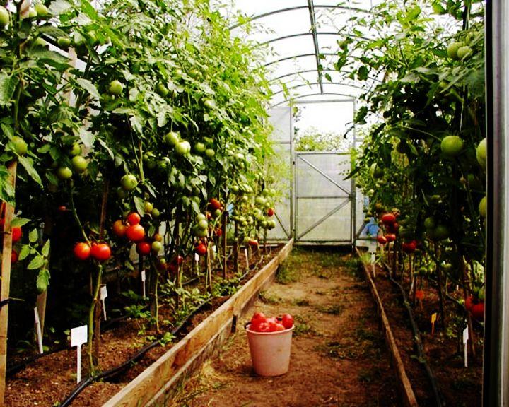Сезон забот: Холодная погода не помеха для хорошего урожая