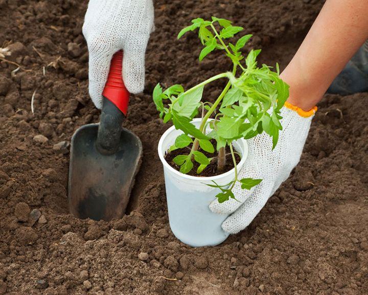 Сезон забот: Как правильно высаживать томаты в открытый грунт