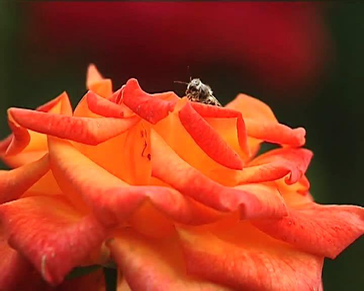 Сезон забот: Розы на дачном участке – посадка и уход