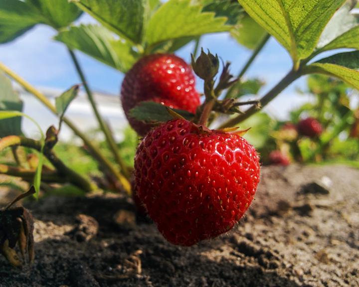 Сезон забот: Секреты хорошего урожая ягод в вашем саду
