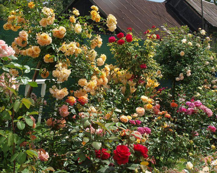 Сезон забот: Создаём розарий на дачном участке своими руками