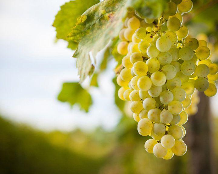 Сезон забот: Уроки для начинающих виноградарей