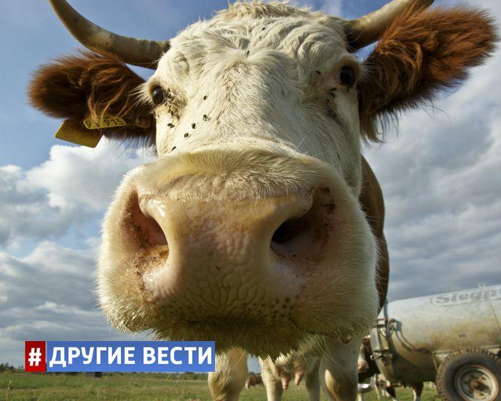 Городским жителям предлагают взять в аренду корову